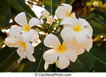 fleurs, frangipanier