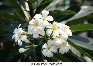 fleurs, frangipanier, thailand.