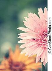 fleurs, gerbera