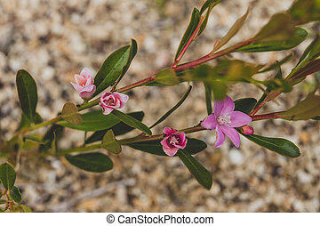 fleurs, gros plan, extérieur, australien, ensoleillé, usine rose, crowea, indigène, wih, arrière-cour