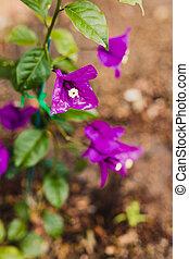 fleurs, gros plan, extérieur, pourpre, bougainvillea, ensoleillé, plante, arrière-cour