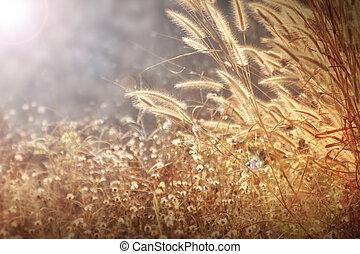 fleurs, herbe hypertrophie terminale, fond, doré, lumière, mauvaise herbe, matin