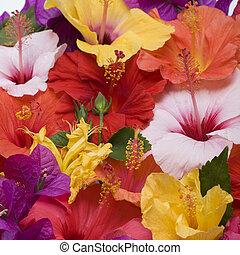fleurs, hibiscus