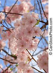 fleurs, huit, sakura