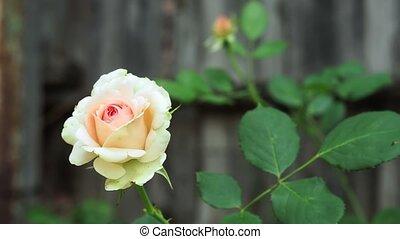 fleurs, jardin, croissant, rose, blanc, close-up.