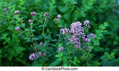 fleurs, jardin, origan