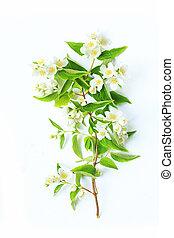 fleurs, jasmin, fond