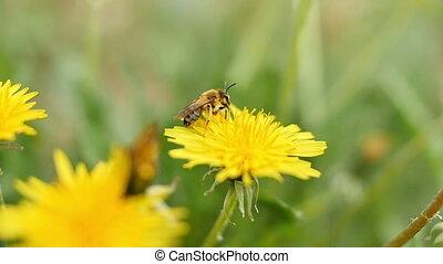 fleurs, jaune, abeille