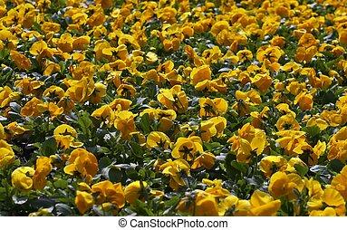 fleurs, jaune, fleurir