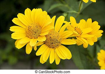 fleurs, jaune
