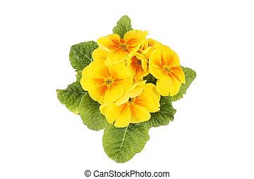 fleurs, jaune, isolé, blanc