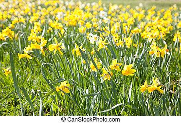 fleurs, jaune, papier peint