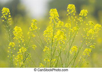 fleurs jaunes, dans, été, champ
