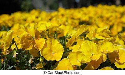 fleurs jaunes, jour, jardin, ensoleillé