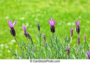 fleurs, lavande, jardin