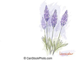 fleurs, lavande, (lavandula).