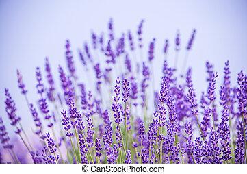 fleurs, lavande