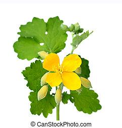 fleurs, leaves., celandine