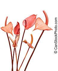 fleurs, lis, flaminggo