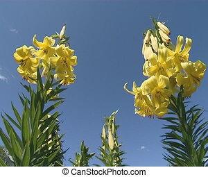 fleurs, lis, fleurir, jaune