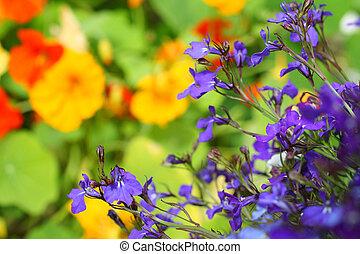 fleurs, lobelia