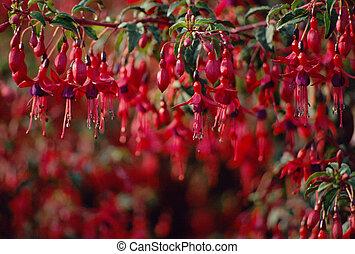 fleurs, magellan, fond, fuschia, rouges