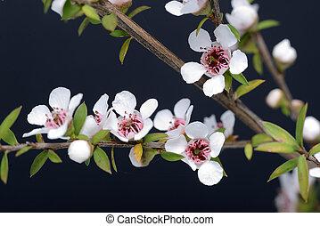 fleurs, manuka