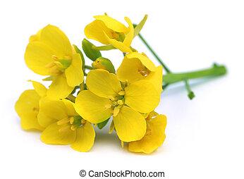 fleurs, moutarde, comestible