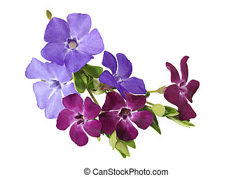 fleurs, myrte, vinca