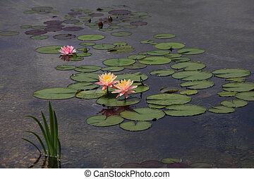 fleurs, nénuphar