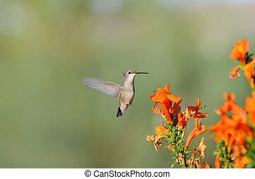 fleurs oranges, colibri