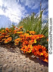 fleurs oranges, minuscule