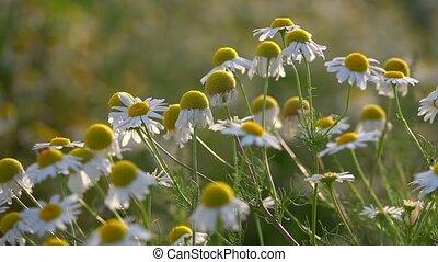 fleurs, pâquerette, nature