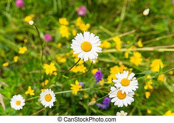 fleurs, pâquerettes, champ