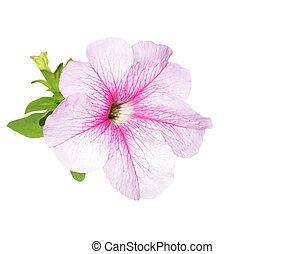 fleurs, pétunia, isolé, blanc