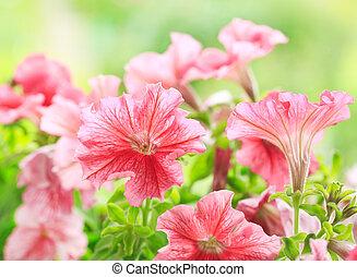 fleurs, pétunia, jardin