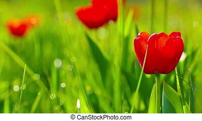 fleurs, par, bourgeons, tulipe, rayons soleil, rouges