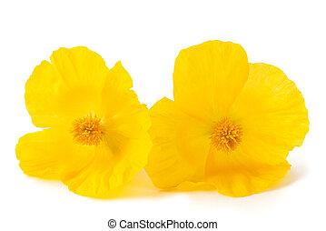 fleurs, pavot, jaune