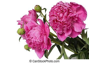 fleurs, pivoine