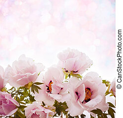 fleurs, pivoines