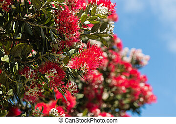 fleurs, pohutukawa, arbre