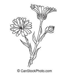 fleurs, pot, -, main, officinalis, calendula, dessiné,...