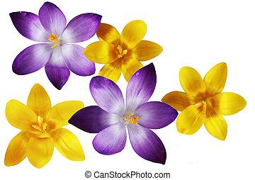 fleurs pourpres, jaune, colchique