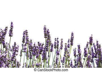 fleurs pourpres, lavande