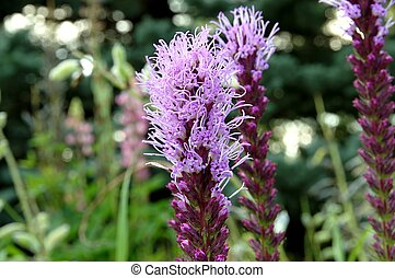 fleurs pourpres, liatris