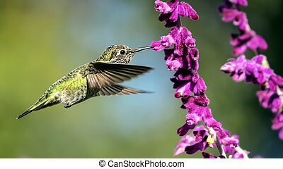 fleurs pourpres, vol, anna's, colibri