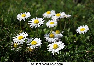 fleurs, pré, pâquerette
