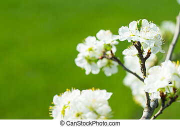 fleurs, printemps, arbre, blanc