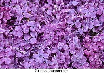 fleurs, printemps, lilas