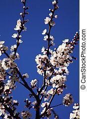 fleurs prune